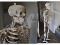 Full Size Skeleton